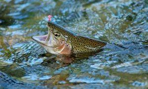 trucha-arcoiris-pescada-streamer
