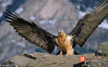El Parque Nacional de Picos de Europa vive la primera reproducción de quebrantahuesos