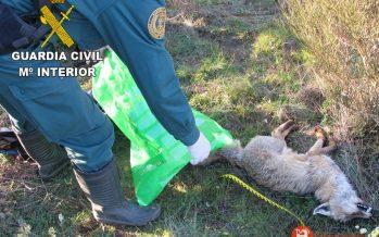Localizado un zorro con síntomas de envenenamiento en la comarca de Sayago