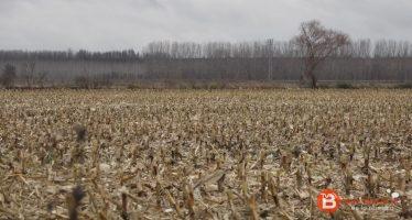 Benavente y los Valles afectados en un 26% en la siembra de cereal