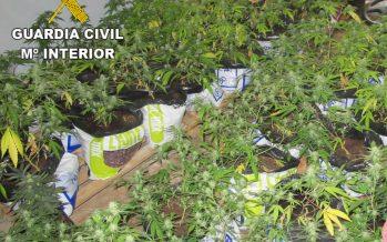 La Guardia Civil incauta 270 plantas de marihuana y detiene a los autores