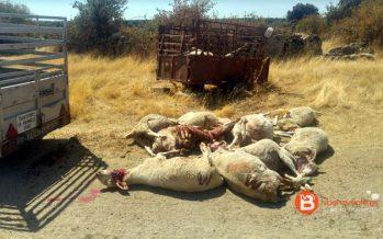 Fresnadillo de Sayago sufre más ataques de lobos con 16 ovejas muertas