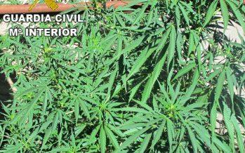 Incautadas 75 plantas de marihuana en una finca de Sayago