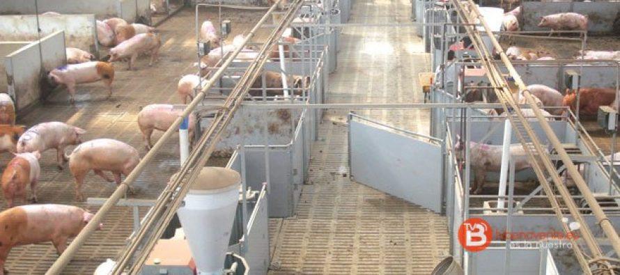 La granja de San Cebrián de Castro opta al Porc d'Or con diamante