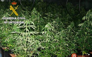 Nueva operación de incautación de plantas de marihuana en Benavente